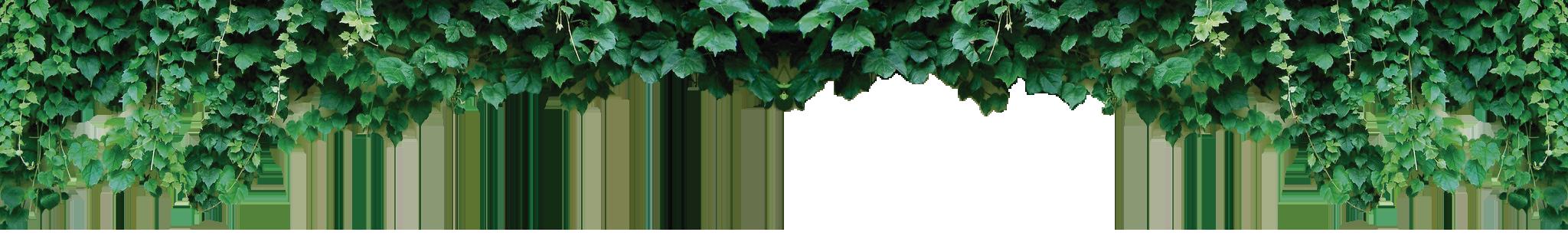 parthenocissu